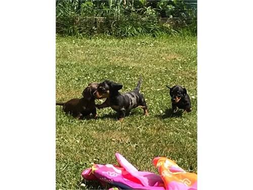 Cute Mini Dachs+hund pups