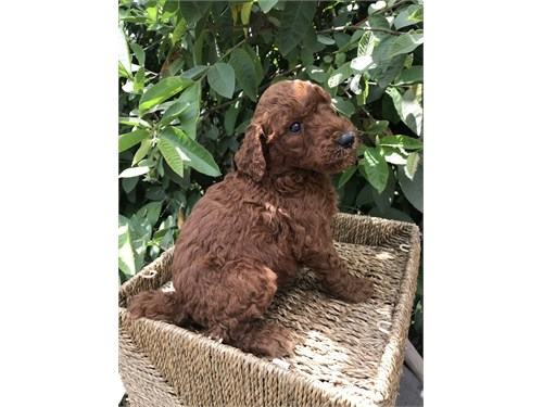 RED STANDARD POODLE MALE
