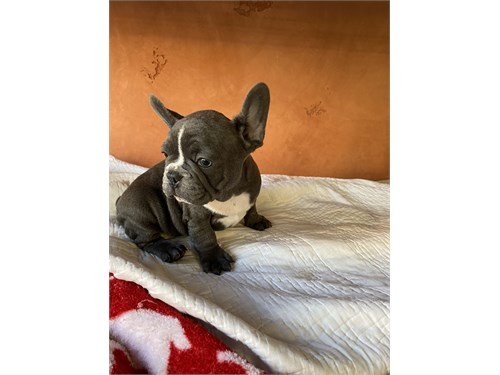 French bulldog puppies!!