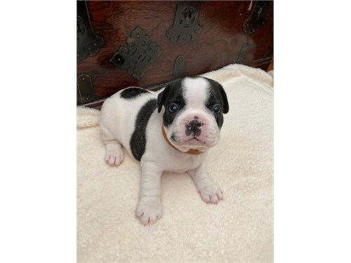 AKC french puppies