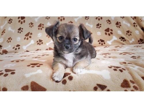 Pretty Chihuahua Pups