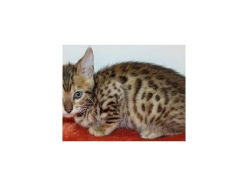 Rqz3 Bengal kittens