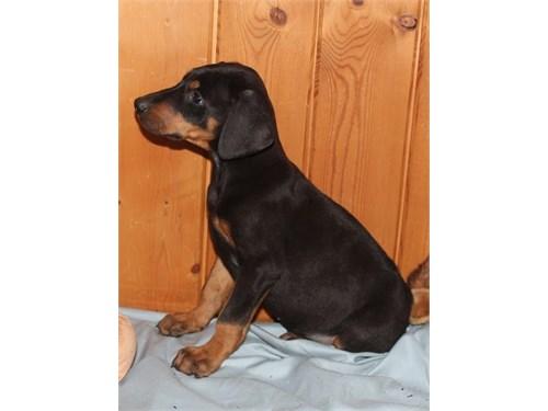 Doberman Pinscher Pups#
