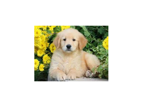Golden Retriever Puppies,