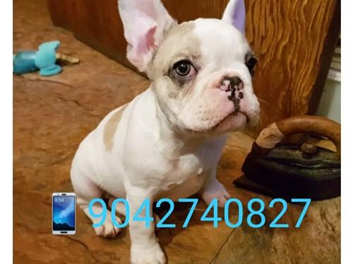 French bulldog pet