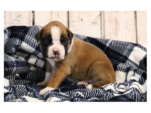 BLITHESOME Boxer puppies
