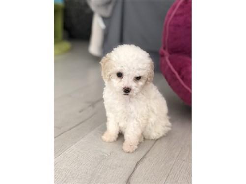 Maltipoo Puppy : Bella