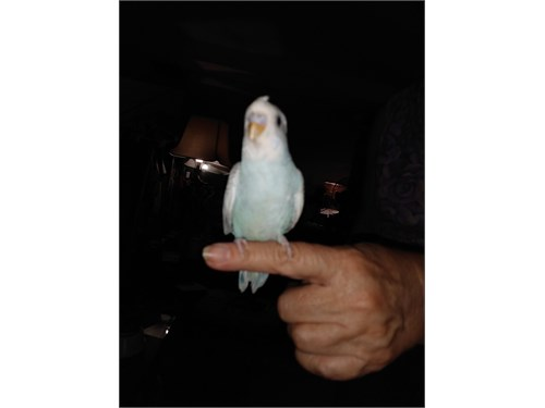 TAME CRESTED PARAKEETS!!!