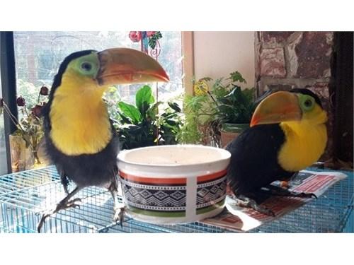 Hand-fed Toucan birds.