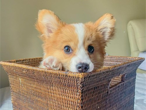 corgi puppy pickup now