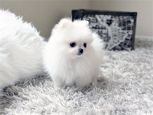 Cute Tcup Pomeranian Pups