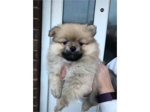 Pomeranian , small