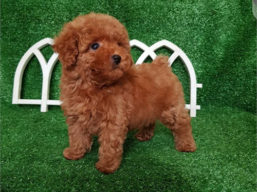 Gladys – Teacup poodle