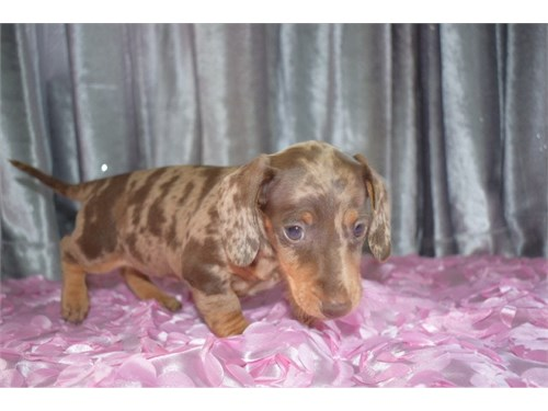 Choc Mini Dachshund Pups
