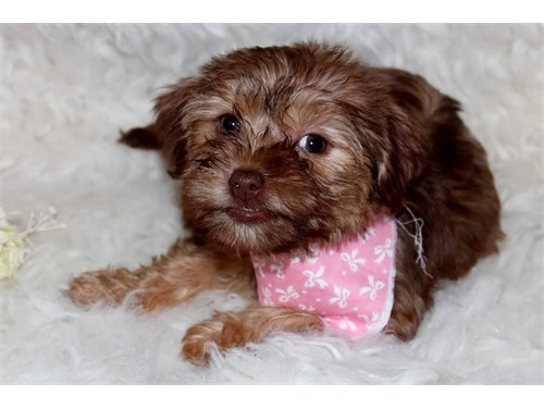 Very small Shorkie pups
