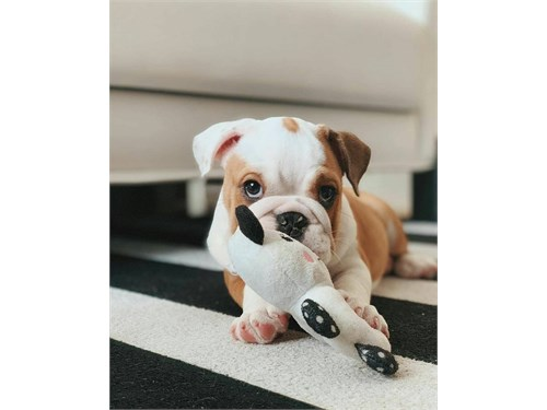 Adorable English Bulldog