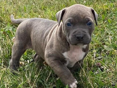 bluenose pitbull puppy