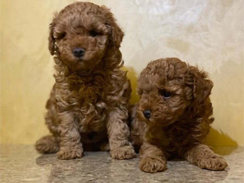 2 Red toy poodle