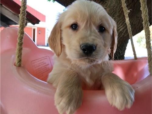 Love Golden Retriever pup