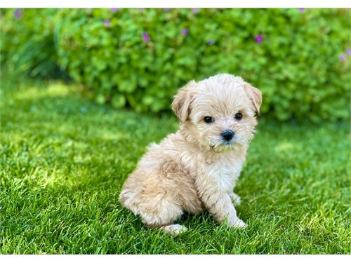 Maltipoo/female-tiny