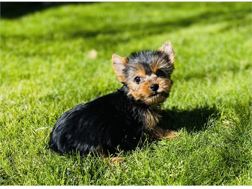 Yorkie/tiny-female