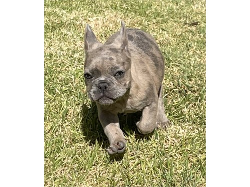 Male Merle Frenchie