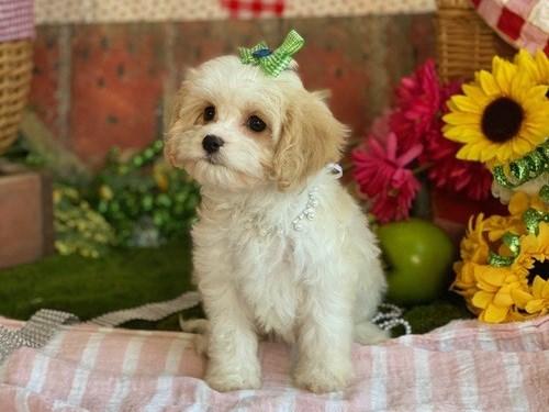Good Cavachon pup