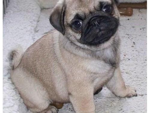 Outstanding Pug Puppies