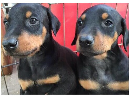 Doberman Pinchers Puppie