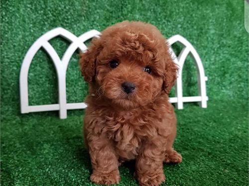 Ruby – Teacup poodle pups