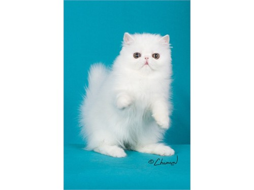 WHITE PERSIAN KITTEN!