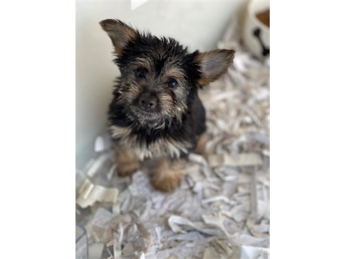 Toy Yorkipoo Puppies