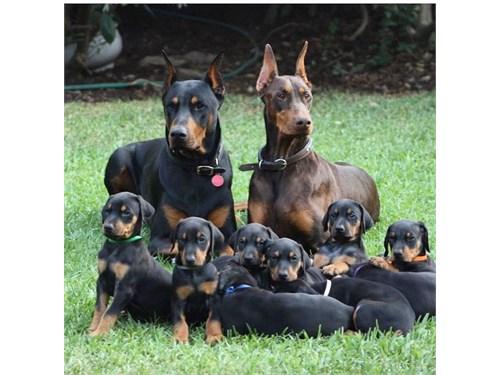 D0berm@n p1n$cher puppies