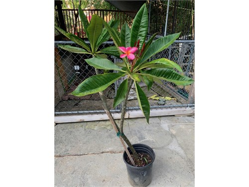 Rainbow Plumeria in bloom