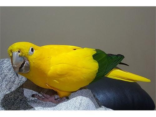 Conures Parrots Parrots