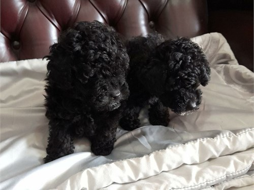 Healthy Toy Poodle