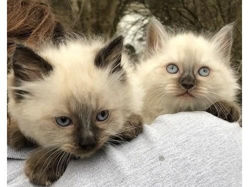 ANGELIC Ragdoll Kittens