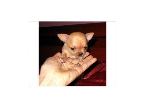 Cute Small Male Chihuahua