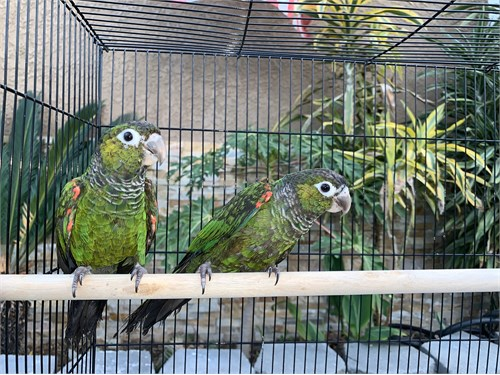 Pair of Souance Conures
