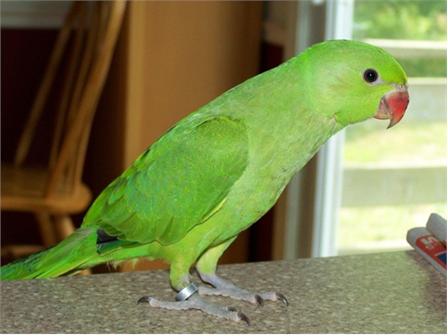 BABY INDIAN RINGNECK 280
