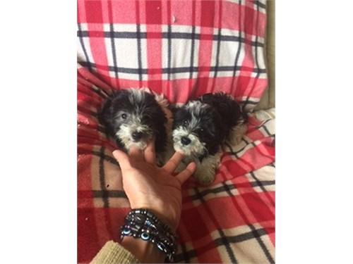 AKC B&W Toy Poodle