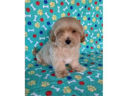 Tiny Maltipoo Puppy