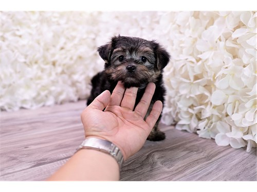Cute Morkie puppy