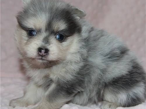 Awesome coloured pom pup
