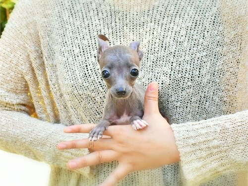 Teacup Italian Greyhounds