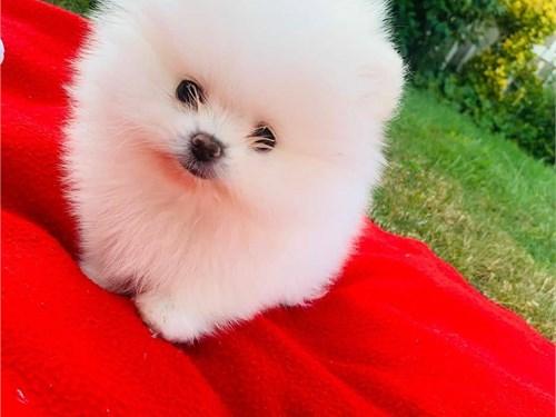 T-cup Pomeranian Pups
