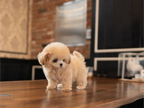 Light Brown Toy Poodle