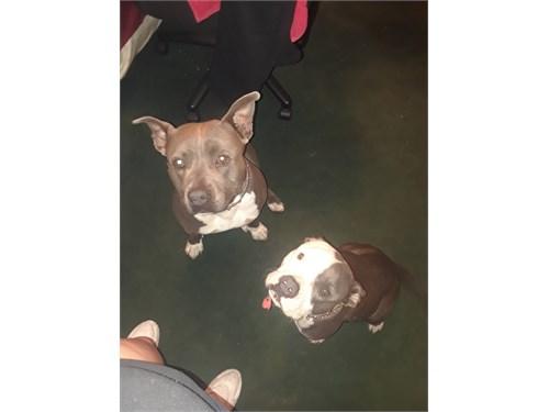 CKC Razor-Gotti Puppies