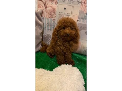 Maltipoo puppy remarkable