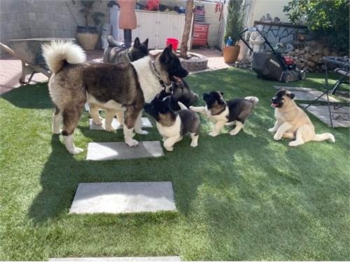 American Akita Pups AKC